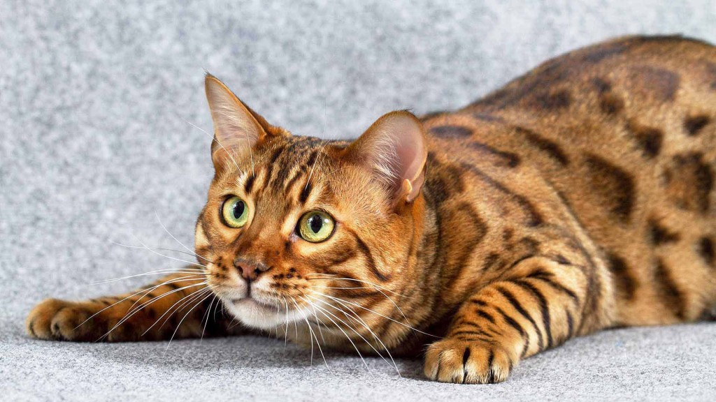 3903-bengal-cat